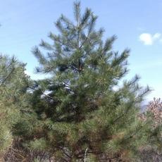 吉林绿化树风景树云杉