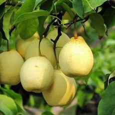 果园直供精品梨 清甜可口 个大汁多 产地直销