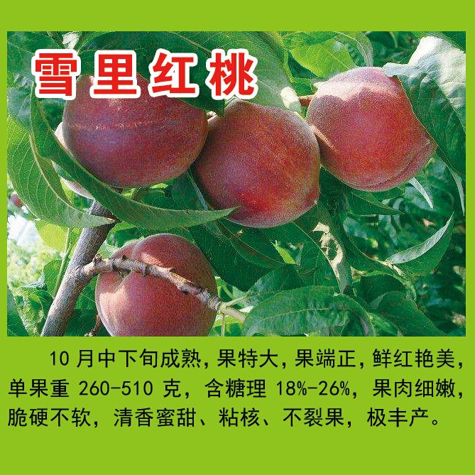 王氏明丰蜜桃园供应雪里红桃等多个品种  果肉细嫩 脆硬不软 清香蜜甜 粘核  不裂果