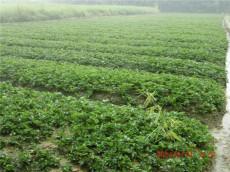 优质红颜草莓苗 红颜草莓苗200万株