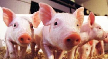 青岛正大猪业  生态养殖三元生猪