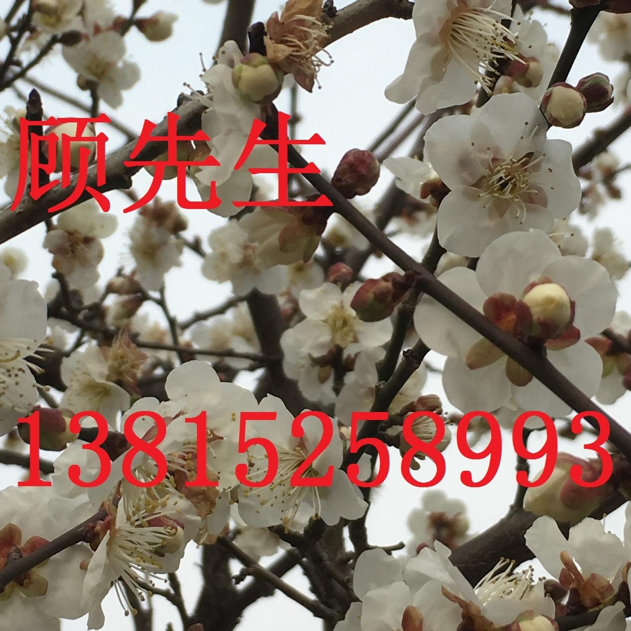 苏州绿化苗木批发基地 造型树 古桩 苏州光福苗木 庭院别墅景观绿化