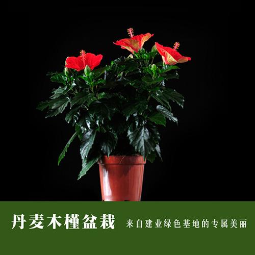 丹麦木槿盆栽 六色任选 建业基地直供 品质优 易护理