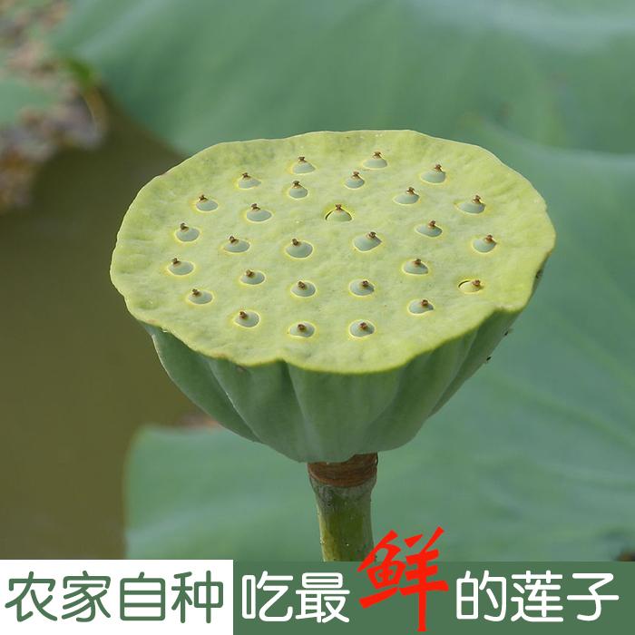 供应 天然自种 新鲜采摘莲子带莲蓬绿色无污染食品农家肥野生种植