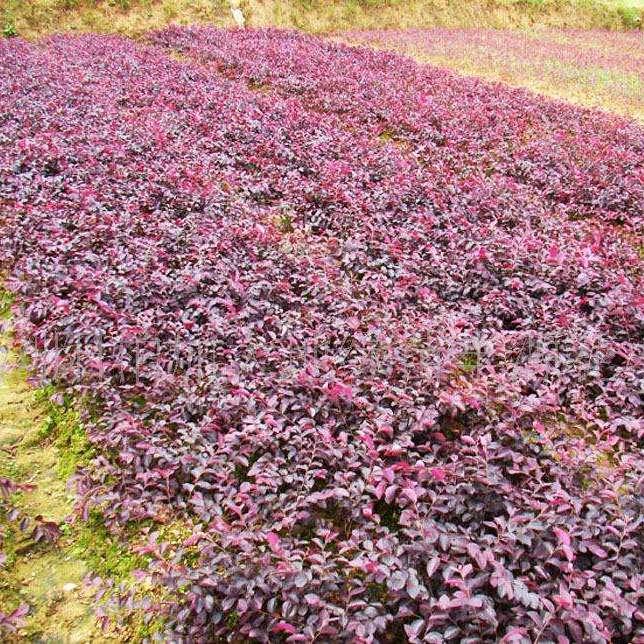 郴州市苏仙区文华花卉苗木  红继木 园林植物 开花植物 红花继木 耐寒 易种植