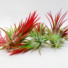 室内绿化 观赏花卉植物 空气凤梨 小植物盆栽