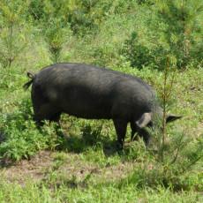 供应 玉山黑猪质量优
