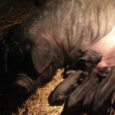 供应 绿色养殖黑猪肉