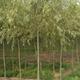 鄢陵建伟苗木基地供应6-20CM金丝柳等园林绿化苗木 规格齐全 成活率高