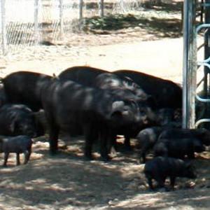 供应 价格合理黑猪