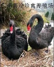 江苏黑天鹅苗