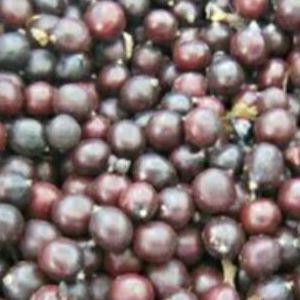 油用链条苗紫斑油用喷剂籽优质三年凤丹油用牡丹润滑油牡丹图片