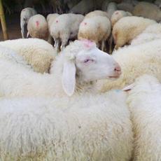 众诚养殖场 大型湖羊养殖基地分布