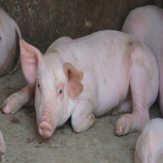 优质三元生猪 营养滋补