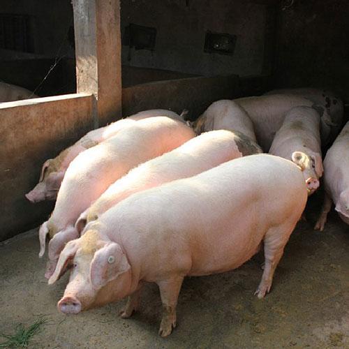 优质生猪 绿色天然  营养更健康