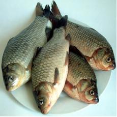 供应原生态无污染大鲫鱼 鲜活水产品鲫鱼 1.5-3斤
