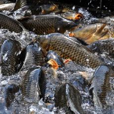 淡水活鱼 特色养殖鲤鱼 营养丰富 肉嫩味美