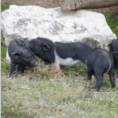 供应 特级优质黑猪 天然