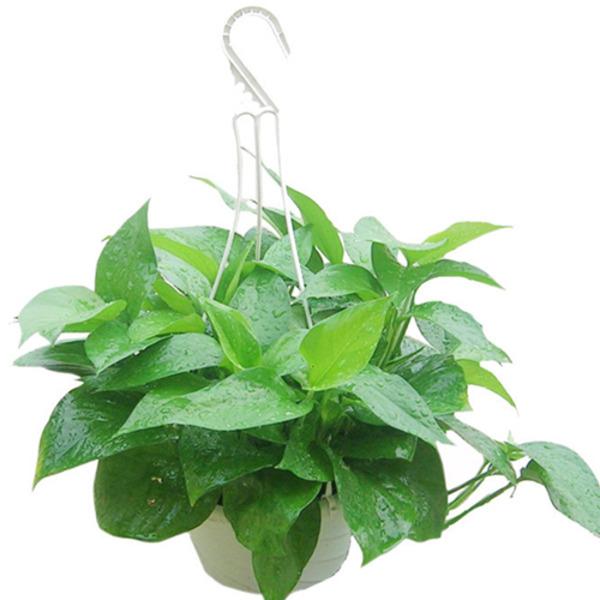绿萝绿植小盆栽含盆