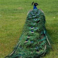供应 纯天然养殖 观赏孔雀 蓝孔雀