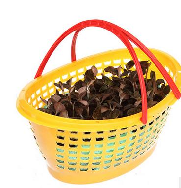 福建厦门金线莲有机种植鲜品 正宗金线莲盆栽 祛痘养颜 炖品 篮景