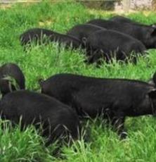 供应莱芜黑猪有机生态黑猪