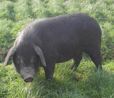 供应绿色无污染有机放养黑猪