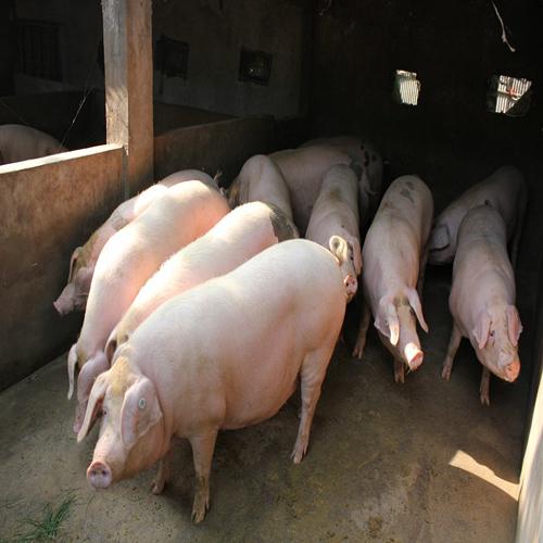 生猪种植批发销售  价格实惠
