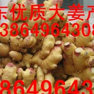 山东生姜种子销售基地