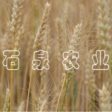 西北冬小麦绝对绿色食品优质小麦