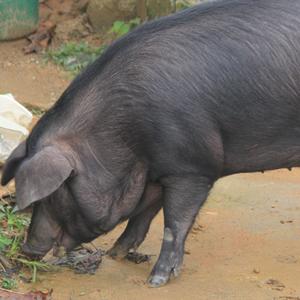 供应 正宗农村黑猪肉农家土猪肉