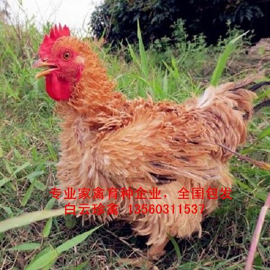 翻毛鸡苗出售,国内专业翻毛鸡种批发,广东翻毛鸡苗价格