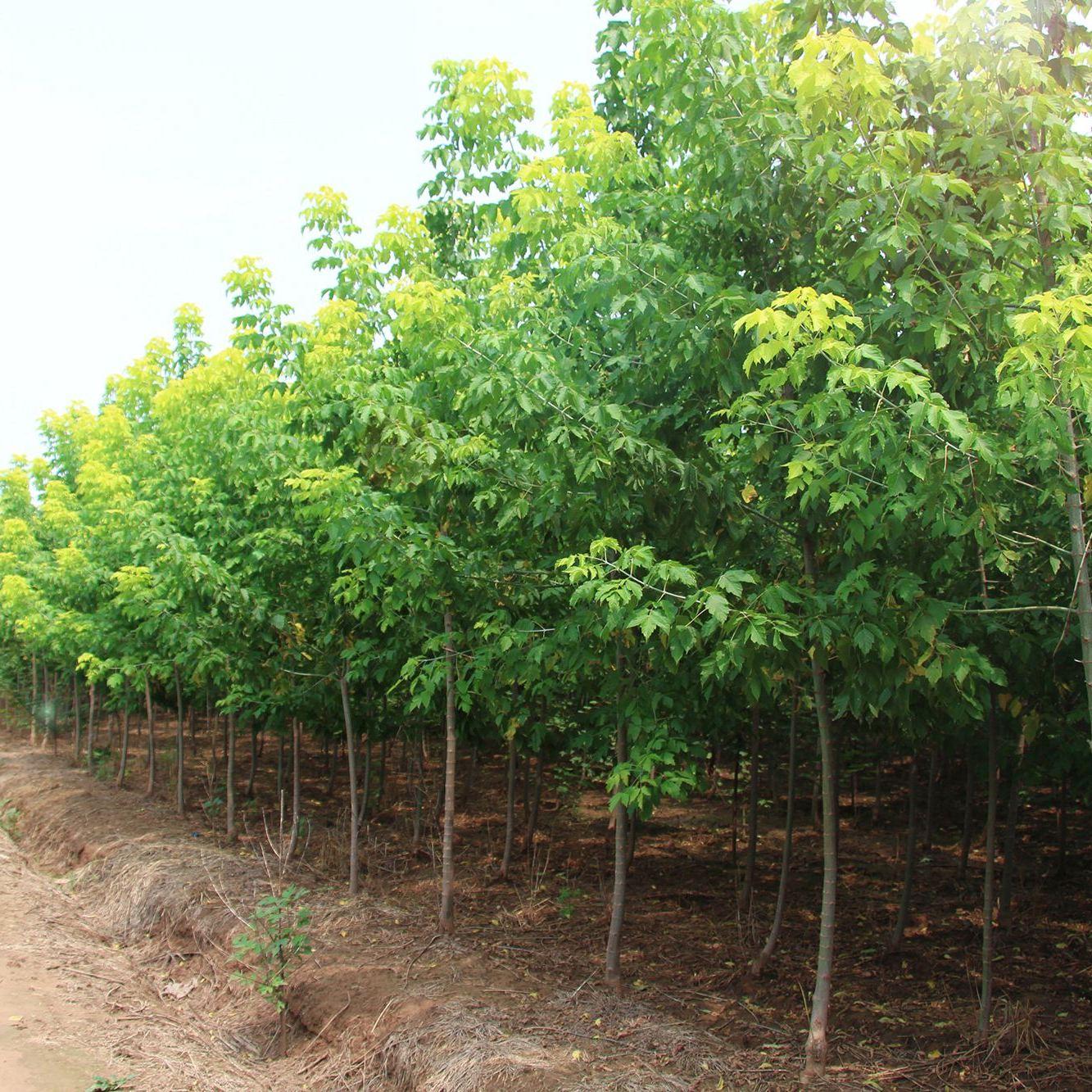 长期供应大小规格金叶复叶槭 基地长期出售优质复叶槭 3-15公分