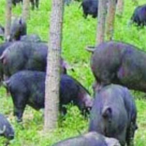 供应 新款散装生态散养/年猪黑猪肉