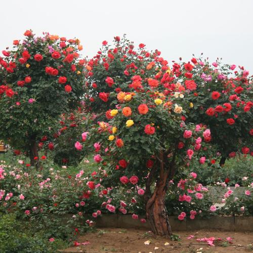 南阳市卧龙区明明种植月季树