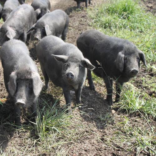 供应 农村新鲜猪肉原生态有机散养黑猪