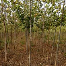 金叶青叶复叶槭1  500