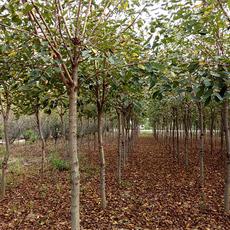 樱花--优质品种!价格合理!特价 品质保证 量大从优 樱花基地 樱花成活率高