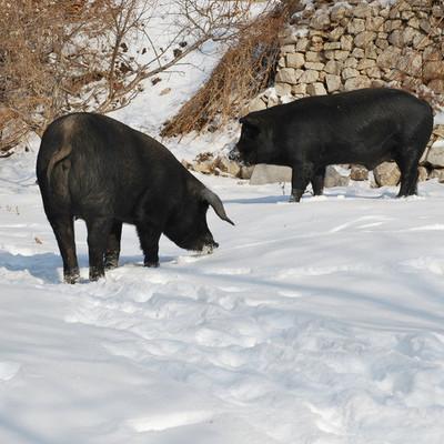 供应 天禾园生态 深山散养 有机黑猪肉