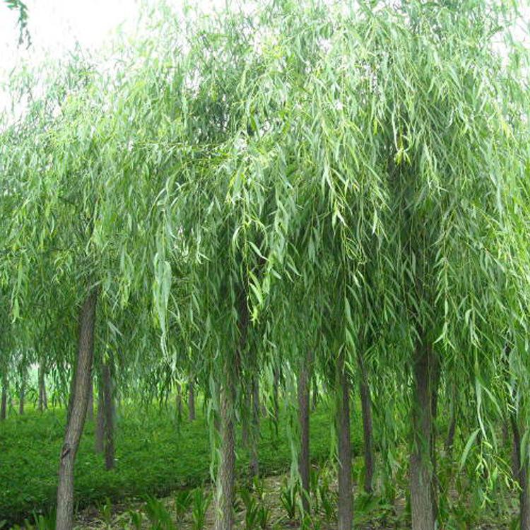 专业供应优质11cm嫁接垂柳 苗木基地批发各规格园林绿化乔木