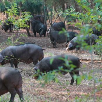 供应 老隽头笨猪肉有机黑猪肉