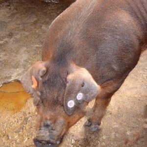 供应 嘎里香年猪黑猪肉土猪肉