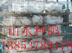 常年大量出售优质白羽王种鸽落地王种鸽 量大从优