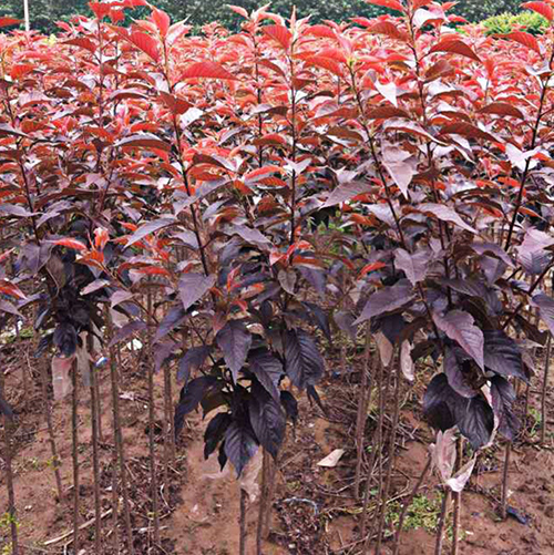 红叶樱花501