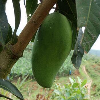 供应 新鲜象牙芒果 西双版纳天然 无污染的品牌水果