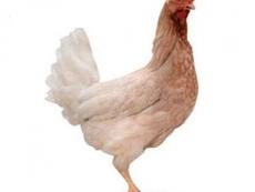 出售60天海兰灰育成鸡