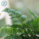 珍品蕨類創意狼尾蕨辦公室綠植盆栽防輻射凈化空氣包郵送盆栽好