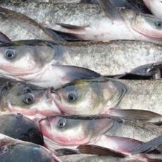 厂家供应淡水鱼花鲢 生态鲢鱼花鲢胖头鱼 优质鲜活水产品批发
