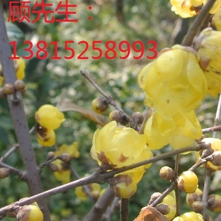 苏州绿化腊梅花 腊梅树 别墅庭院景观绿化设计施工 大型腊梅树基地 庭院花园景观设计