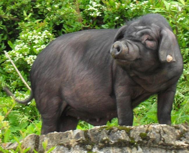 饲养黑猪仔需要注意的事项